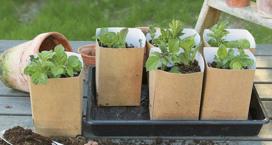 PlantStart Kartoffelsæt - forspiring
