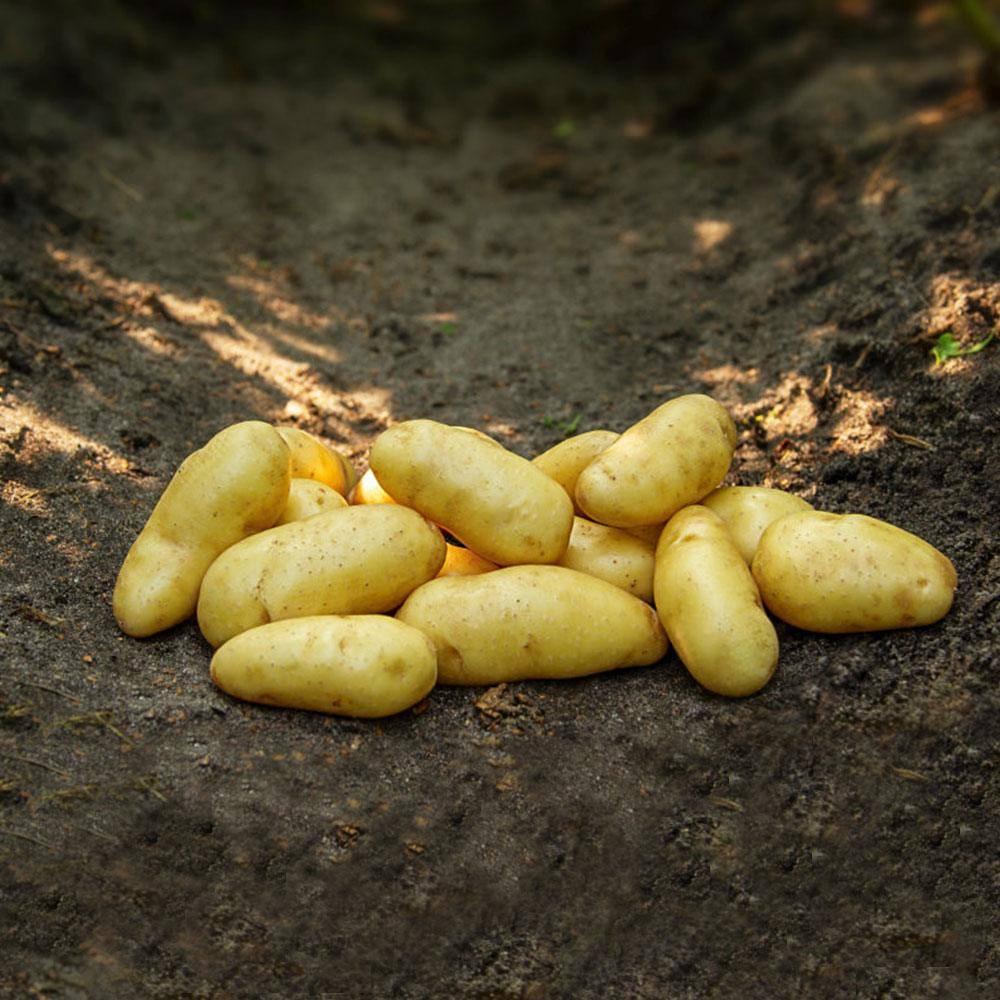 Asparges kartofler - sen sort