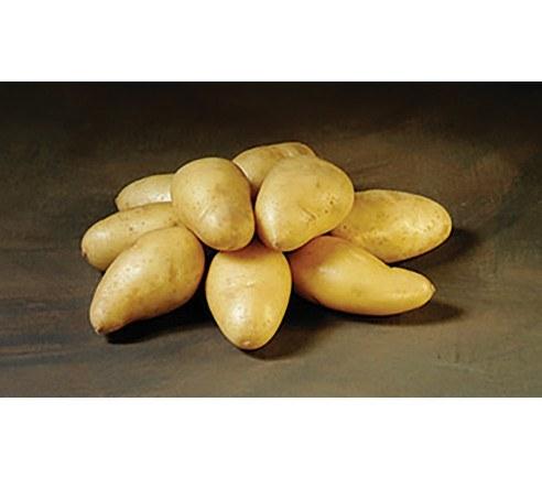 Twister Økologiske læggekartofler - middel-sen sort