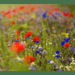 Blomstermarksblanding