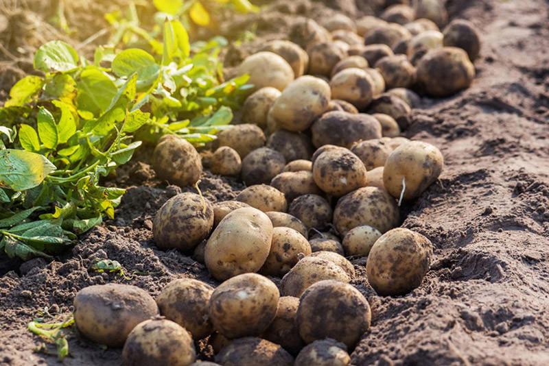 Dyrk kartofler til 1000,- kr. per kilo!