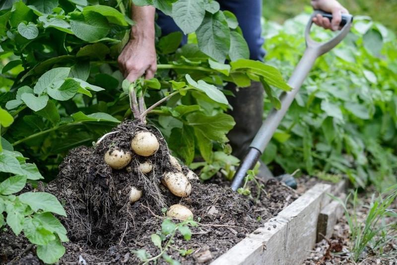 Dyrkning af kartofler med succes