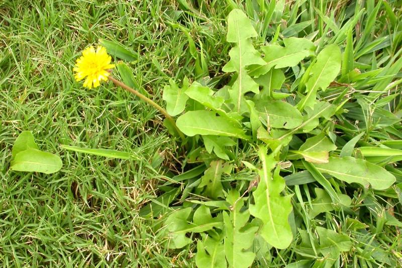 Ukrudt i græsplænen. Guide: Bliv fri for ukrudt og mos i plænen